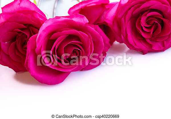 beautiful bright pink roses - csp40220669