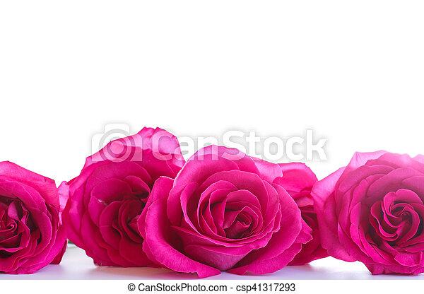 beautiful bright pink roses - csp41317293