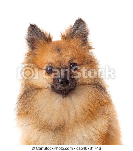 Beautiful Brown Pomeranian Dog Isolated On A White Background