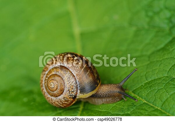 Beautiful brown snail on green leaves - csp49026778