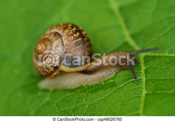 Beautiful brown snail on green leaves - csp49026760