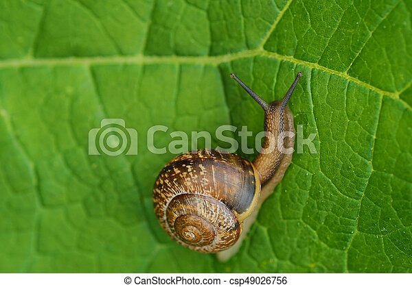Beautiful brown snail on green leaves - csp49026756