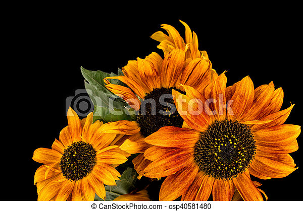 Beautiful brown sunflowers on black background - csp40581480