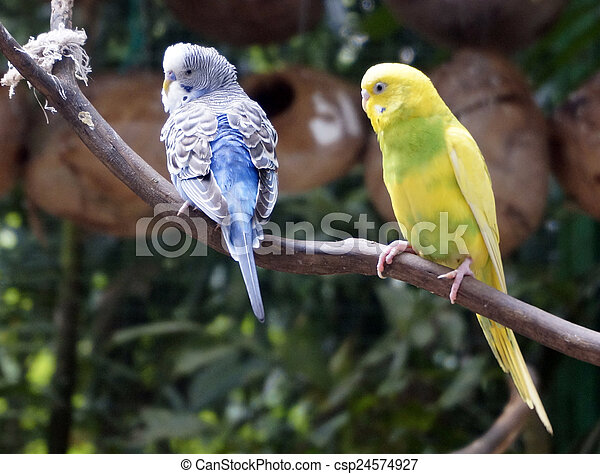Beautiful budgies sitting on a branch. - csp24574927