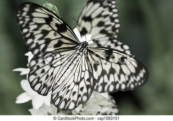 beautiful butterfly - csp1583151
