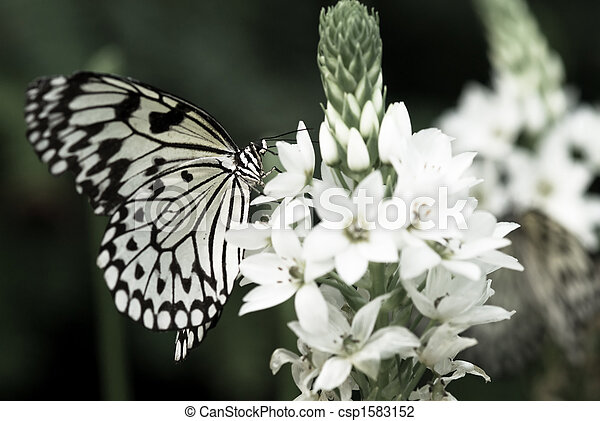 beautiful butterfly - csp1583152