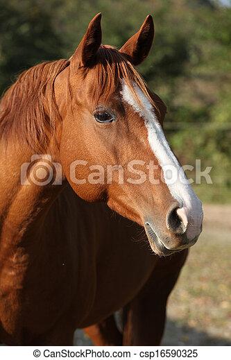 Beautiful chestnut quarter horse in autumn - csp16590325