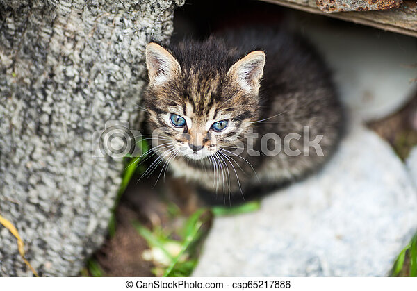 Beautiful close up of brown cat with blue eyes - csp65217886