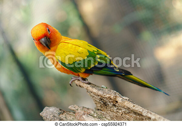 Beautiful colorful sun conure parrot birds on the tree branch - csp55924371