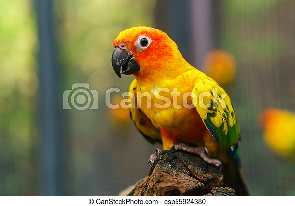 Beautiful colorful sun conure parrot birds on the tree branch - csp55924380