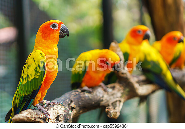 Beautiful colorful sun conure parrot birds on the tree branch - csp55924361
