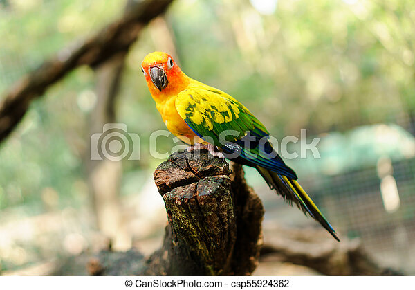 Beautiful colorful sun conure parrot birds on the tree branch - csp55924362