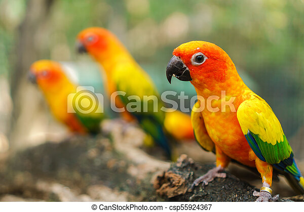 Beautiful colorful sun conure parrot birds on the tree branch - csp55924367