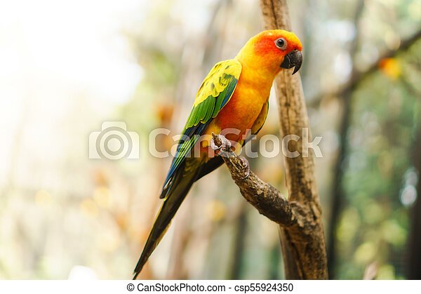 Beautiful colorful sun conure parrot birds on the tree branch - csp55924350