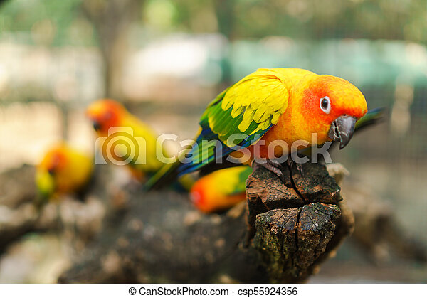 Beautiful colorful sun conure parrot birds on the tree branch - csp55924356