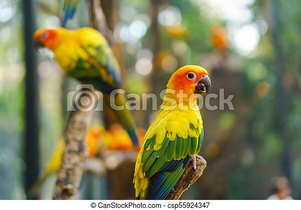 Beautiful colorful sun conure parrot birds on the tree branch - csp55924347