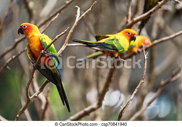 Beautiful colorful sun conure parrot birds - csp70841940