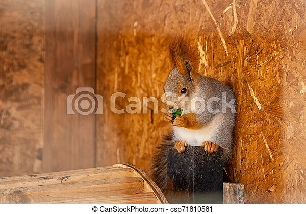 beautiful cute fluffy squirrel on a Sunny day - csp71810581