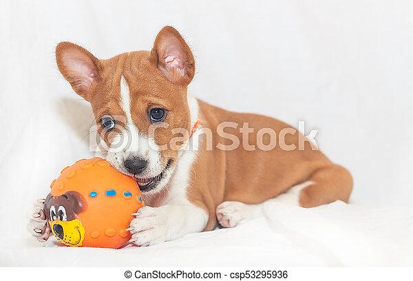 Beautiful Cute Puppy Dogs Not Barking Dog Breed Basenji Beautiful