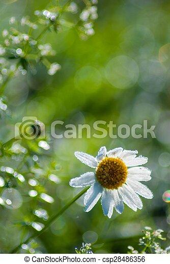 beautiful daisy at morning time - csp28486356