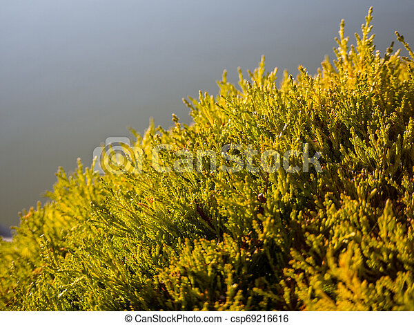 Beautiful detail on the small branches of a hedge - csp69216616
