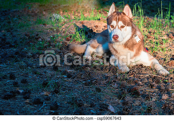 Beautiful dog lying on ground in the park. Brown Siberian husky lies on fallen pine needle in warm evening rays, looking forward. - csp59067643