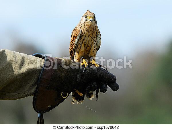 beautiful falcon - csp1578642