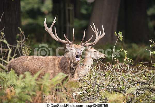 Beautiful Family group herd of red deer stag cervus elaphus during rut season in forest landscape during Autumn Fall - csp43406759