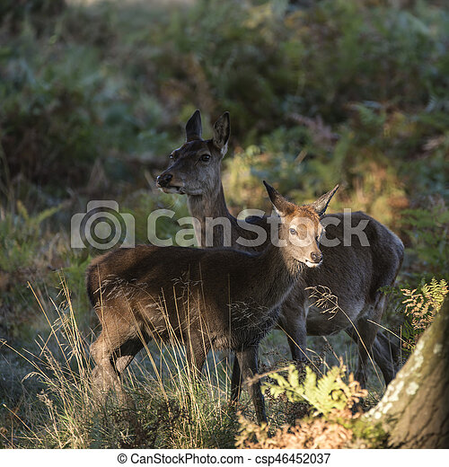 Beautiful Family group herd of red deer stag cervus elaphus during rut season in forest landscape during Autumn Fall - csp46452037