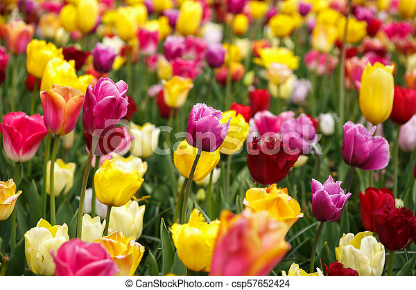 Beautiful flower garden with colorful blooming flowers - csp57652424
