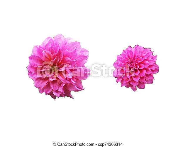 beautiful flower isolated on white background - csp74306314