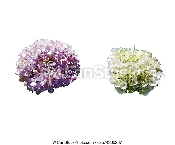 beautiful flower isolated on white background - csp74306287