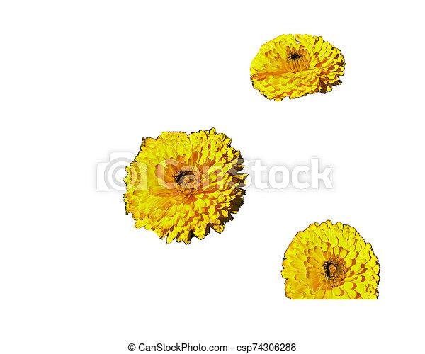 beautiful flower isolated on white background - csp74306288