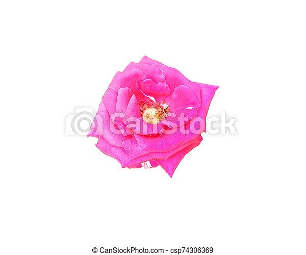 beautiful flower isolated on white background - csp74306369