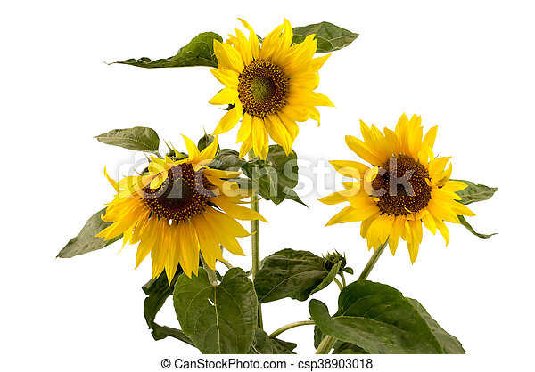 beautiful flower sunflowers on a white background - csp38903018