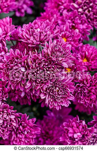 Beautiful flowers of chrysanthemums, Chrysanthemums flowers background - csp66931574