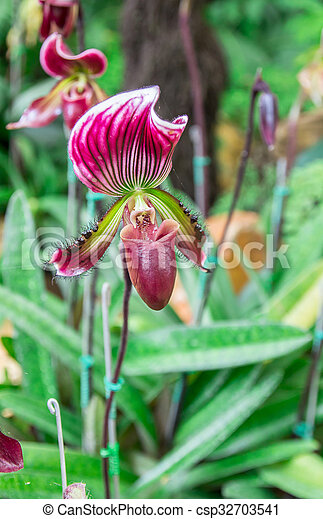 Beautiful flowers of Paphiopedilum orchid - csp32703541