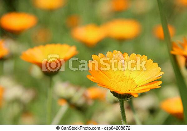 0ea78d618 Beautiful flowers of yellow calendula on flower bed. Beautiful ...