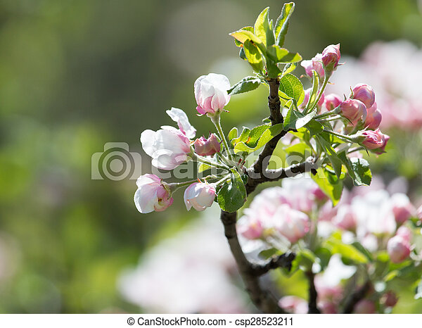 beautiful flowers on the branches of apple trees - csp28523211