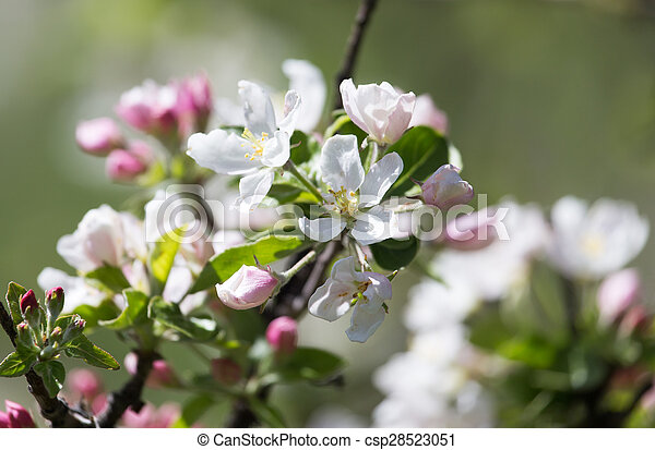 beautiful flowers on the branches of apple trees - csp28523051