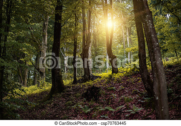 Beautiful forest in the rays of the sun. - csp70763445