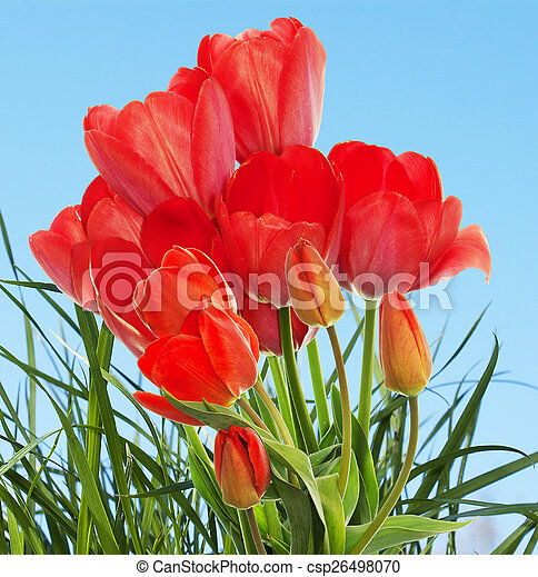 Beautiful fresh garden tulips on abstract spring nature backgr - csp26498070