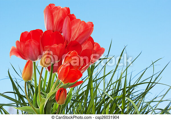 Beautiful fresh garden tulips on abstract spring nature backgr - csp26031904