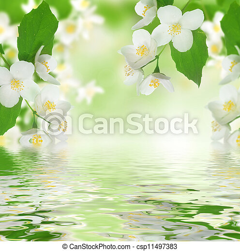 Beautiful Fresh Jasmine - csp11497383