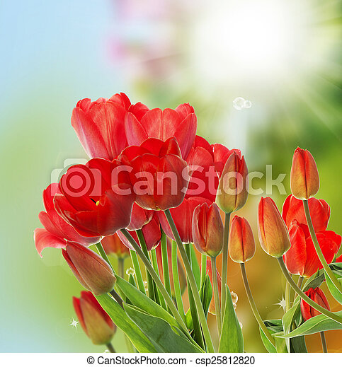 Beautiful fresh red tulips on abstract spring nature background - csp25812820
