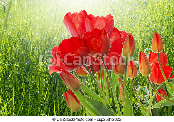 Beautiful fresh red tulips on abstract spring nature background - csp25812822
