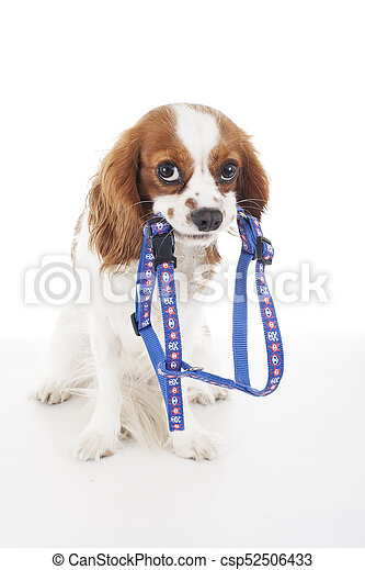 Top Cavalier Canine Adorable Dog - beautiful-friendly-cavalier-king-charles-stock-photos_csp52506433  Graphic_642917  .jpg