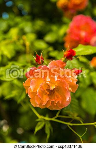 Beautiful garden flowers in the park - csp48371436