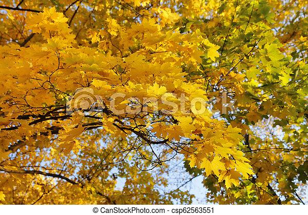 Beautiful golden autumn branches of maple - csp62563551