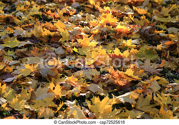 Beautiful golden autumn leaves in the rays of the evening sun - csp72525618